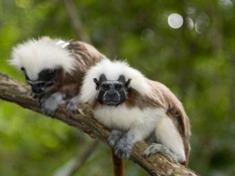 El mono titi informacion