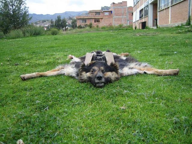 exposicion, canina, perros, arte, inyeccion, letal, muerte, perrera, mascota, la, paz, bolivia