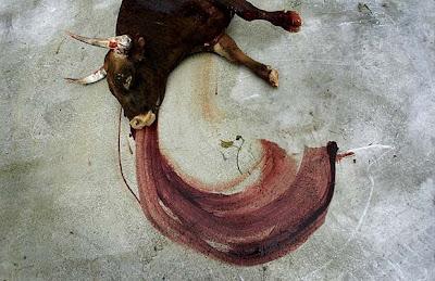 Catalunya se pregunta si el dolor d los toros es ético[PROU] A-toro-6