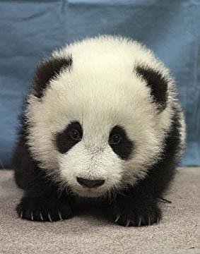 cute panda pic
