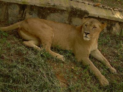 Bannerghatta Lion