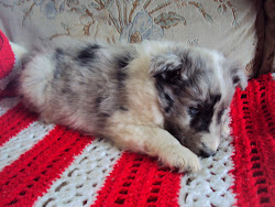 Blue Merle Female Puppy