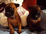 Red Thai Ridgeback Puppies