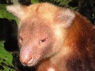 Species unik kanguru mantel emas (Dendrolagus pulcherrimus)