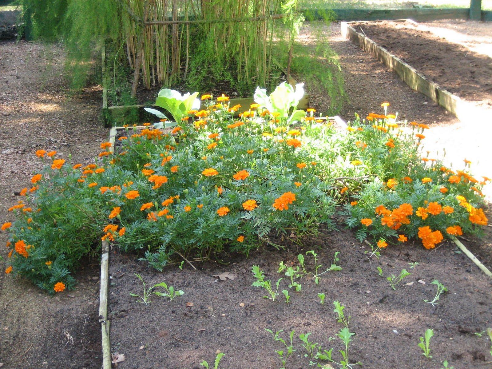 Lisa Bonassin 39 S Garden Marigolds In The Vegetable Garden