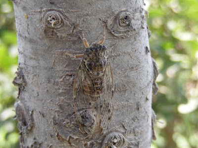 Cicada On A Tree In Fethiye