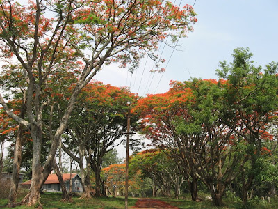 Gulmohar Trees near Tamil Nadu border area