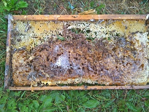 Beekeeping with The Hive Honey Shop: Wax moth infestation ...