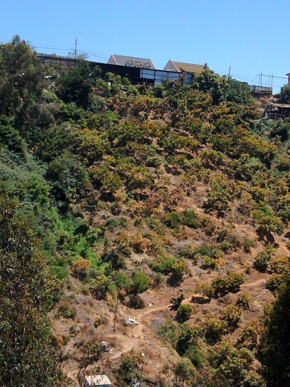 fotografia de plantaciones de paltos en las laderas