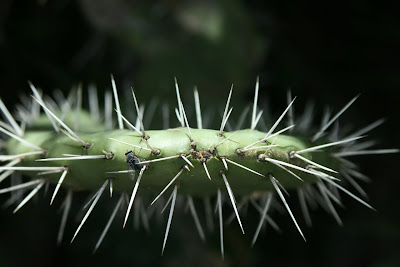 Detalle de las hojas de la chumbera
