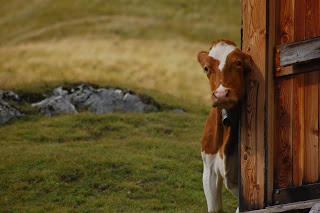 foto montagna mucca