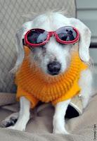 anjing, guiness, kaca mata, katarak, labrador, Langka, record, tukang nggame, Unik, world