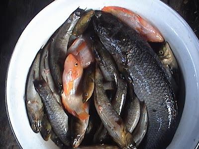 Recherche information sur les espèces aquatiques du lac Sentani (Irian jaya) D1+Lake+Sentani+Local+Fish%28GABUS,GANDEY,KAHEY,HEWU,HIMENG,YOWI,ISNONGGA,MEULEMAY,+ETC%29