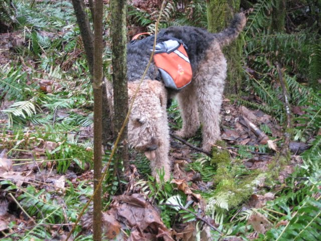 The Adventures of a Spirted Orrang Airedale
