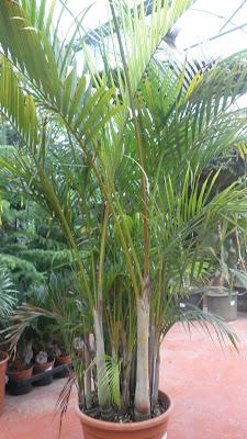 Jardinbio plantas de sombra interior - Planta interior palmera ...