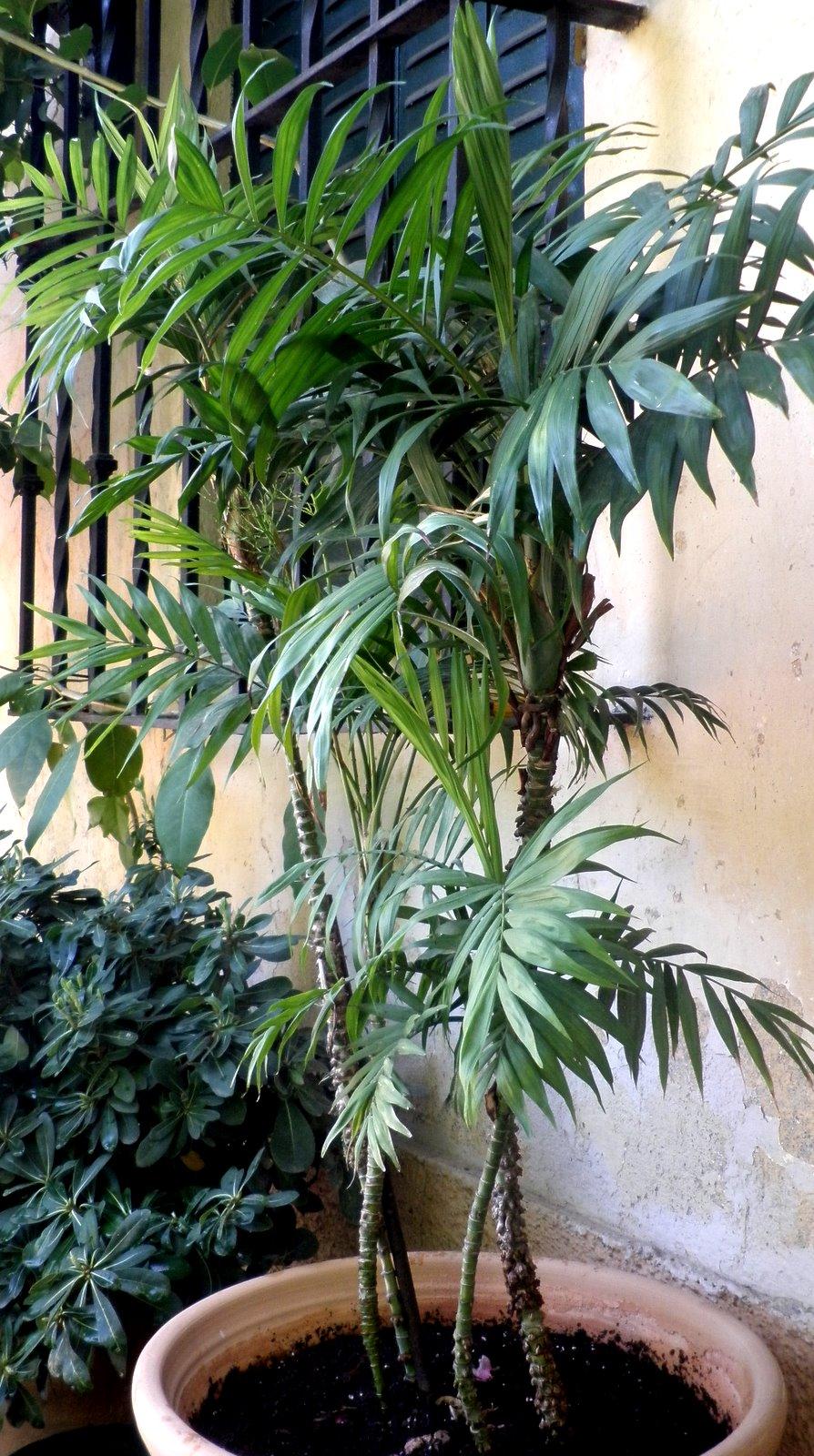 Jardinbio ficus benjamina y chamaedorea seifrizii palmera bambu - Bambu planta exterior ...