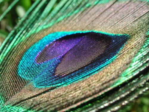 colors is a peacock feather A lot of weddings have a thing