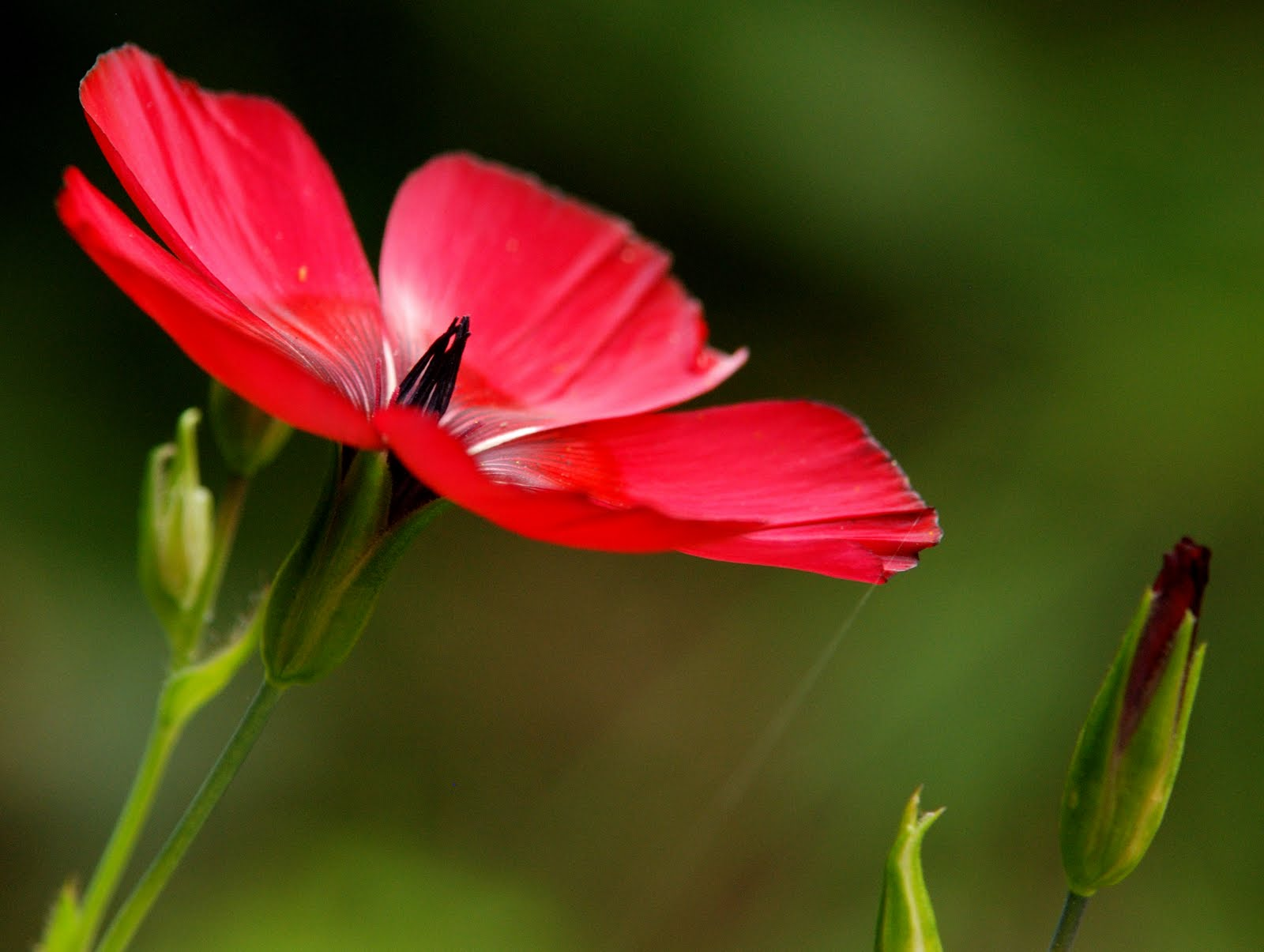 Pictureway: Des petites fleurs de mon jardin, lin rouge et fleur d'oranger du Mexique...