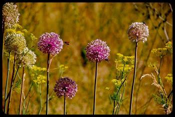 Puerros, cebollas e hinojos en flor siendo polinizados