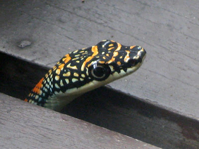 flying snake, paradise tree snake