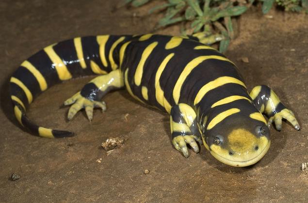 Black salamander with yellow stripe
