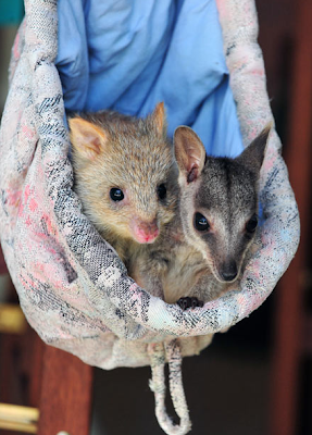 baby bettong and baby wallaby friends