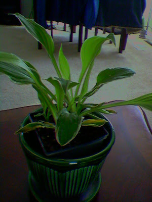 Can Hosta Grow Indoors Leaves Slowly Dying Helpfulgardenercom