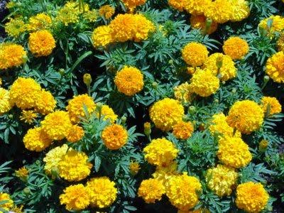 http://2.bp.blogspot.com/_jjt1gqhpErY/S-59i5bKqgI/AAAAAAAABSQ/734v0p0ruHk/s1600/bunga+tahi+ayam.jpg
