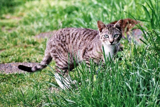 Little Tabby Kitten, portrait of a survivor