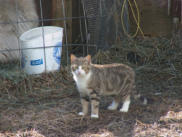 sturdy built barn cat tabby