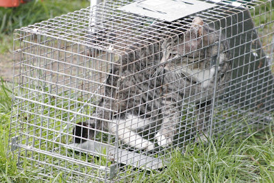 feral tabby cat in live trap, ready to go to the vet - very angry about, too