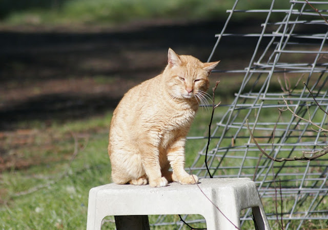 photo feral tom cat Orange Julius