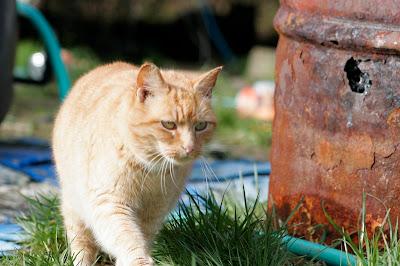 Feral cat Coppertop orange kitty walks toward camera