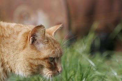Orange cat Coppertop profile portrait photo