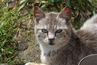 Portrait of a silver tabby feral kitten