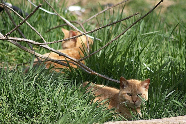 two feral cats, 2 orange cats lying in the grass