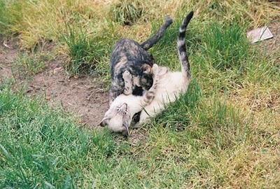 kittens play wrestling, Xiu and Fran