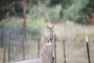 fence-sitting feral cat