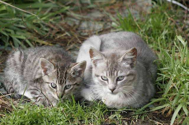 Two feral tabby kittens photo by Pagani, all rights reserved - please do not take!