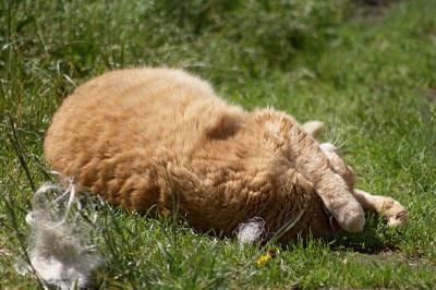 orange feral cat girl Gadget luxuriates in the sun