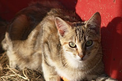 little brown tabby cat, a feral, rests in the sun