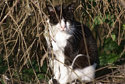 Panda the feral cat, a young tom, hiding in the woods