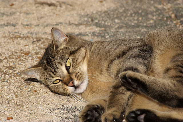 beautiful brown tabby cat rolls and plays
