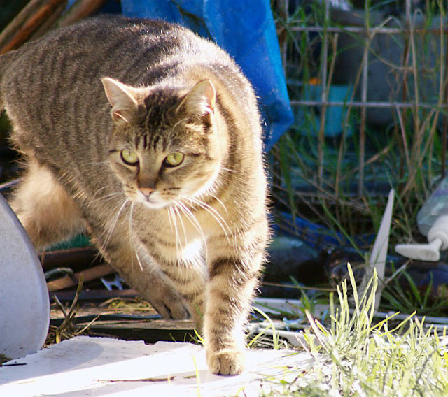in action, beautiful brown tabby runs