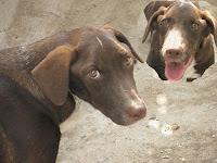 foto Cronos Mejía: MI perro chocolate