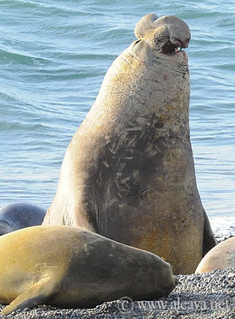 Peninsula Valdes WIildlife Calendar Elephant seal