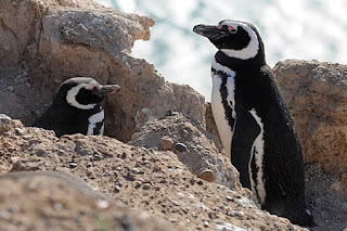 Penguin Caleta Valdes, an exclusive housing complex for a few penguins