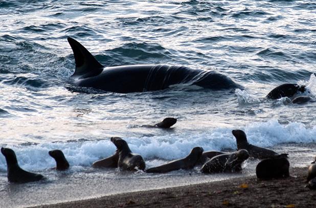Orca Season in Punta Norte Peínsula Valdés Patagonia Argentina