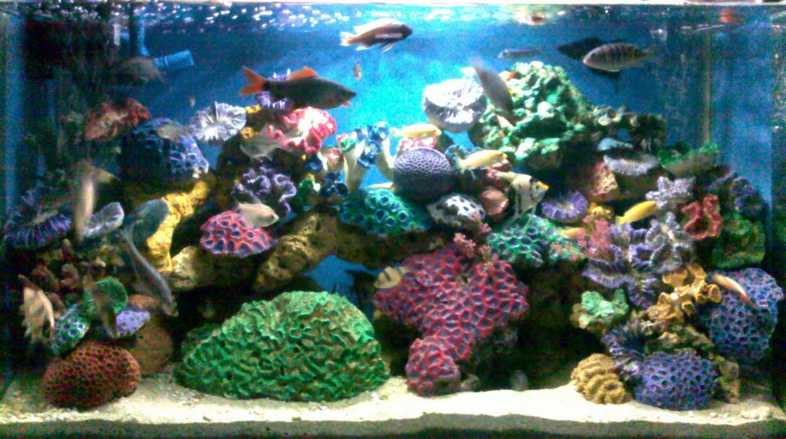 ikan chiklid juga bagus buat jenis ikan hias tawar ini gambar aquarium