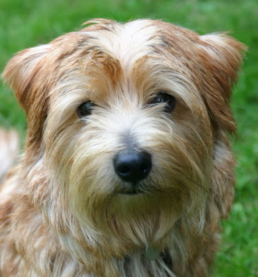 Norfolk Terrier Puppies on Norfolk Terrier